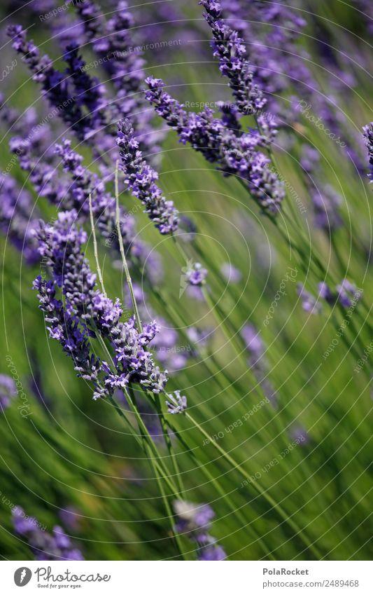 #A# Purple Wind Environment Nature Landscape Plant Esthetic Lavender Lavender field Lavande harvest Blow Margin of a field Violet Flower Blossoming