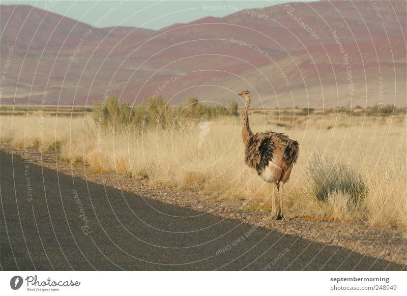 bouquet Landscape Hill Street Animal Ostrich 1 Looking Stand Colour photo Subdued colour Exterior shot Deserted Day