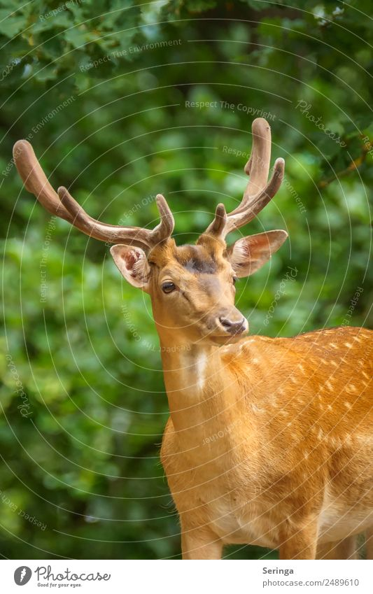 hunter Nature Plant Animal Tree Bushes Park Meadow Forest Wild animal Animal face Pelt Animal tracks Zoo 1 Observe Looking Fallow deer Red deer Antlers
