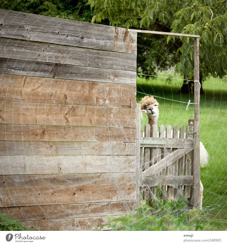 headbanging Animal Farm animal Zoo Petting zoo 1 Funny Llama Animal face Colour photo Exterior shot Deserted Copy Space left Day Wooden wall Wooden fence Barn