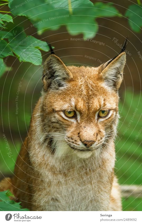 Lynx with a view of the prey Animal Wild animal Cat Animal face Pelt Animal tracks Zoo 1 Movement To feed Hunting Colour photo Multicoloured Exterior shot