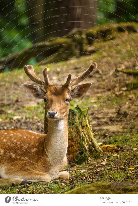Animal Wild animal Pelt Animal face To feed Antlers Deer Animal tracks Red deer Fallow deer