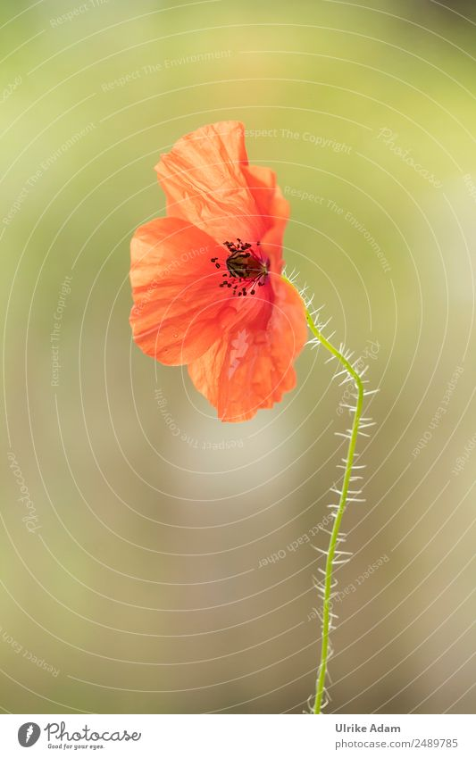 poppy blossom Design Wellness Life Harmonious Well-being Contentment Relaxation Calm Meditation Fragrance Cure Spa Interior design Decoration Wallpaper Card