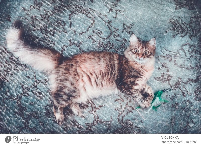 Young Siberian cat on the carpet Lifestyle Style Joy Relaxation Living or residing Animal Pet Cat 1 Design Carpet Lie Funny Colour photo Interior shot