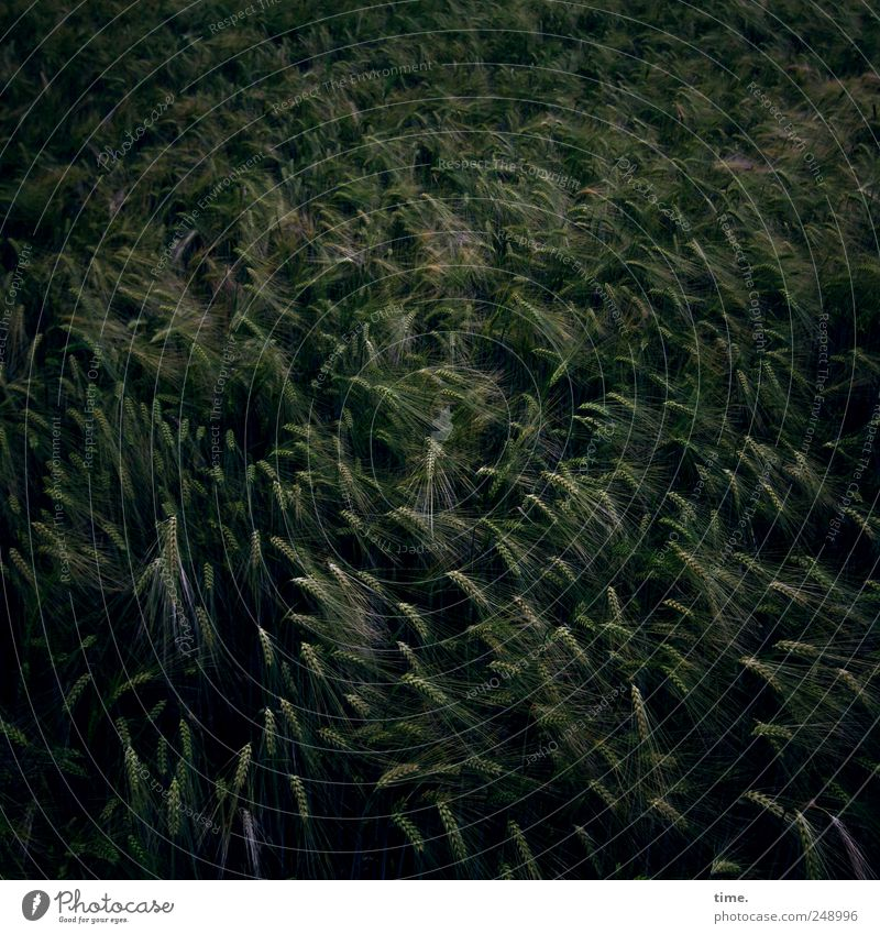 Nature Plant Dark Environment Food Field Wind Growth Grain Agriculture Mature Society Cornfield Ecological Forestry