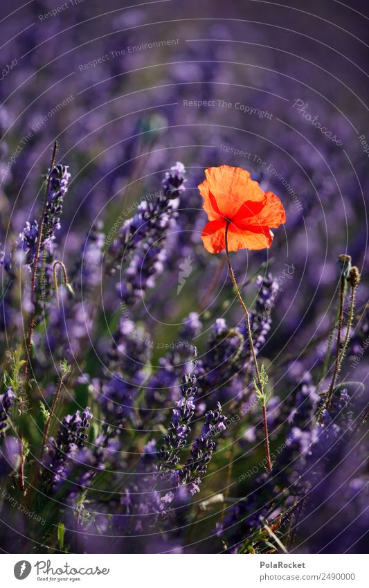 #A# Red dot in the purple sea Environment Nature Landscape Climate Beautiful weather Field Esthetic Violet Poppy Poppy blossom Poppy field Lavender