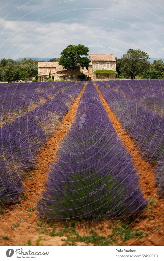 #A# Lavender Good Art Work of art Painting and drawing (object) Esthetic Field Lavender field Lavande harvest Violet Blossoming Green pastures France Provence