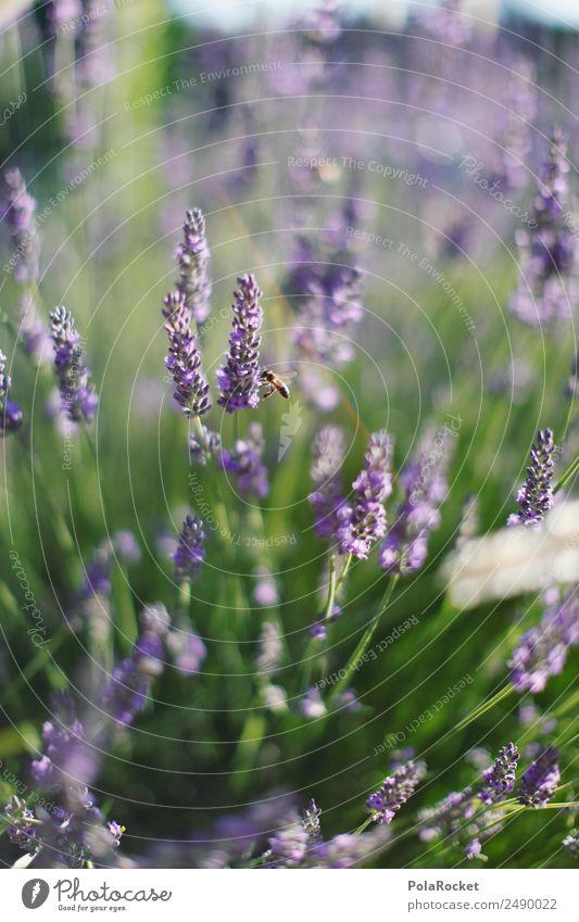 #A# Little Bee Environment Nature Landscape Plant Animal Esthetic Lavender Lavender field Lavande harvest Violet Blossom Blossoming Green pastures Wind Blow