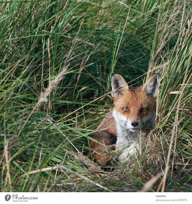 el zorro Grass Meadow Animal Wild animal 1 Lie Brown Green Gaze Surprise Fox Hide Exterior shot Deserted Day Animal portrait Front view Looking into the camera