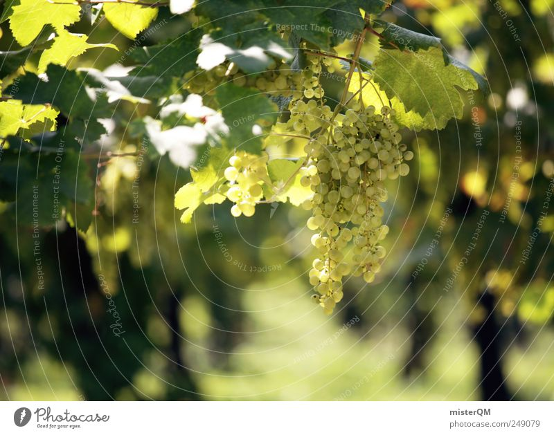 Nature Plant Environment Landscape Esthetic Vine Culture Italy Gastronomy Mature Hang Juicy Area Quality Bunch of grapes Grape harvest