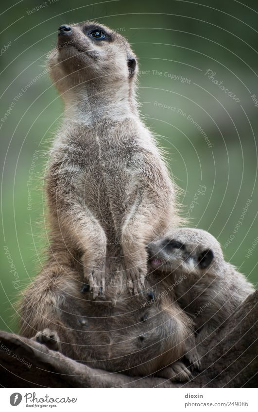 Multitasking Mama Animal Pelt Paw Zoo Meerkat Mammal 2 Baby animal To feed Feeding Cuddly Natural Cute Protection Warm-heartedness Together Responsibility