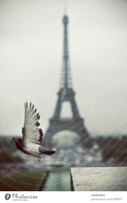 Paris departure 1 Animal Gray Eiffel Tower Pigeon Flying Floating Wing Airplane takeoff Colour photo Subdued colour Exterior shot Deserted