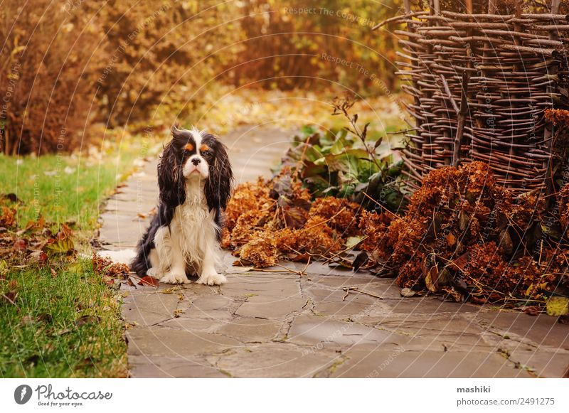 spaniel dog walking in november garden Leisure and hobbies Garden Nature Landscape Clouds Autumn Bushes Leaf Pet Dog Stone Wet Brown Colour November October
