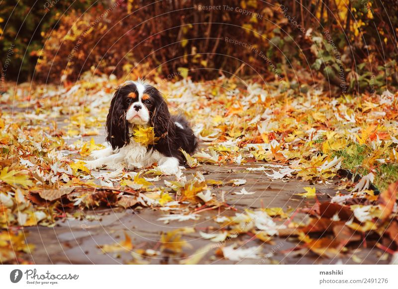 spaniel dog sitting under marple tree Garden Nature Tree Leaf Pet Dog Wet cavalier king charles Ground orange Late autumn Seasons November September October