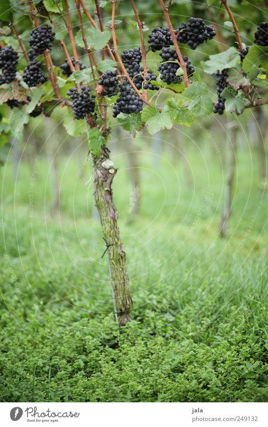 vine Food Fruit Organic produce Vegetarian diet Environment Nature Plant Leaf Foliage plant Agricultural crop Bunch of grapes Vine Esthetic Natural Wild Blue