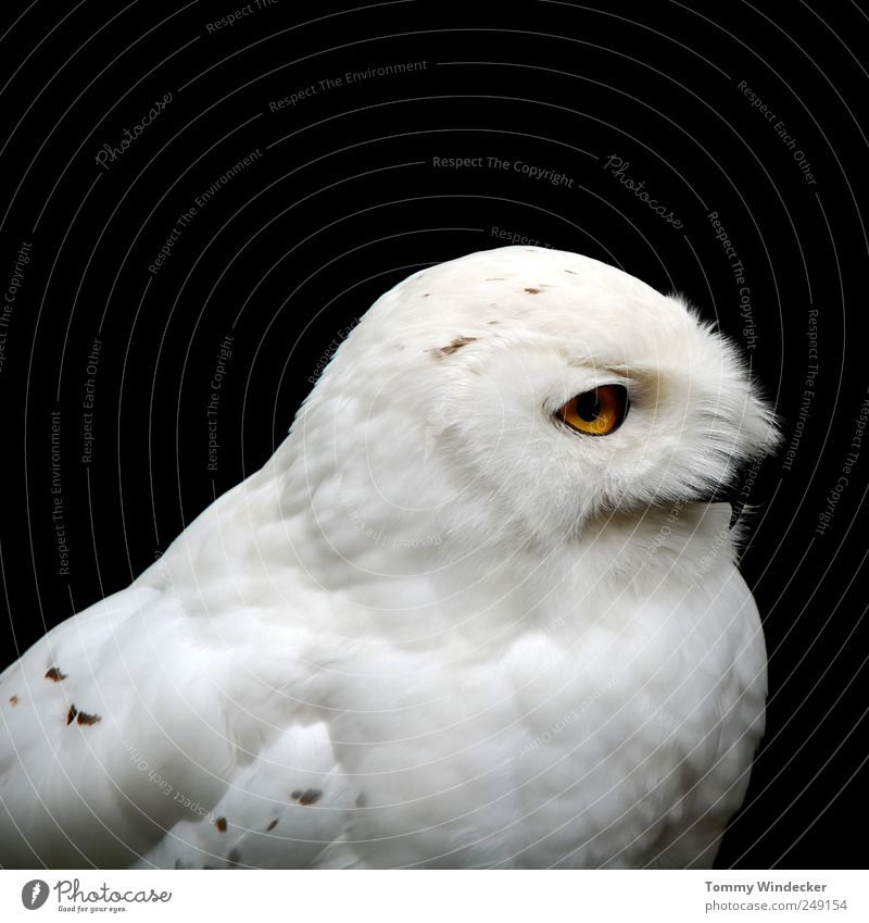 Bubo scandiacus Nature Animal Wild animal Bird Snowy owl Eagle owl Strix Observe Flying Hunting White Environment Bird of prey Land-based carnivore Feather