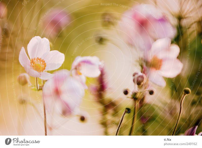 flower of power Summer Plant Flower Bushes Blossom Chinese Anemone Blossoming Fragrance Growth Friendliness Bright Beautiful Yellow Green Pink Spring fever