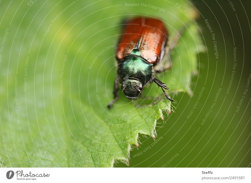 Japan bug Environment Nature Plant Animal Summer Climate Leaf Forest Beetle Popillia japonica Insect Pests Destructive weed Herbivore Leg of a beetle 1 To feed