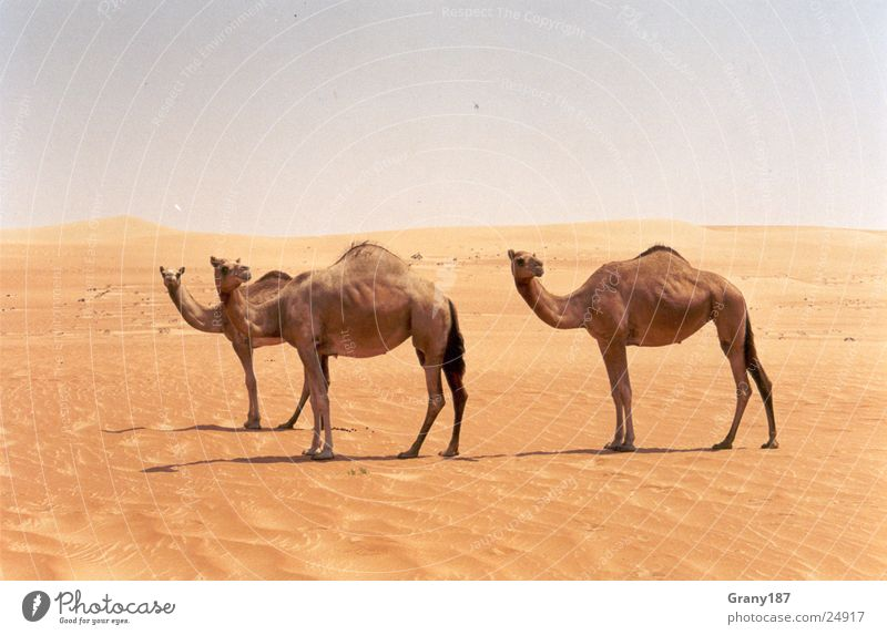 camel driving Asia Advertising executive Poster Panorama (View) Vacation & Travel Brand of cigarettes camels Desert emirates advertising material