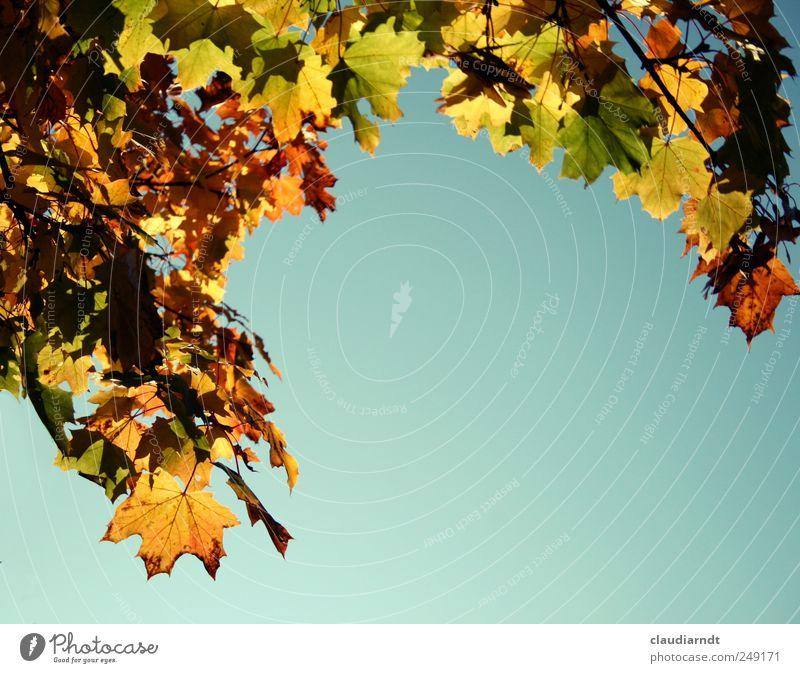 Sky Nature Plant Beautiful Leaf Environment Yellow Autumn Illuminate Gold Beautiful weather Cloudless sky Autumn leaves Autumnal Frame Maple leaf