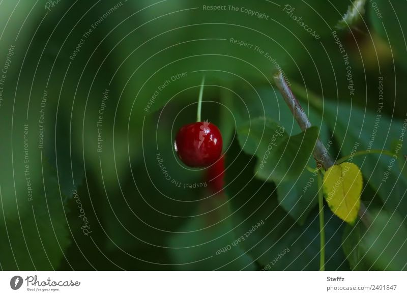 dashes of colour Cherry Nature Summer Plant Leaf Agricultural crop Fruit Cherry tree Garden Fruit garden Delicious Beautiful Green Red Dark green 1 Blur