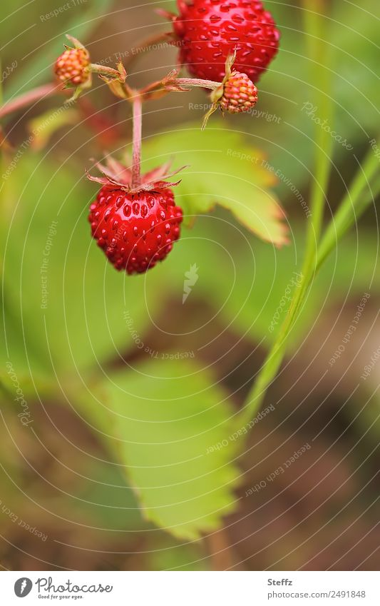 Forest Strawberries Fruit Wild strawberry Berries Nature Summer Plant Bushes Agricultural crop Wild plant Strawberry Berry bushes Garden Delicious Juicy