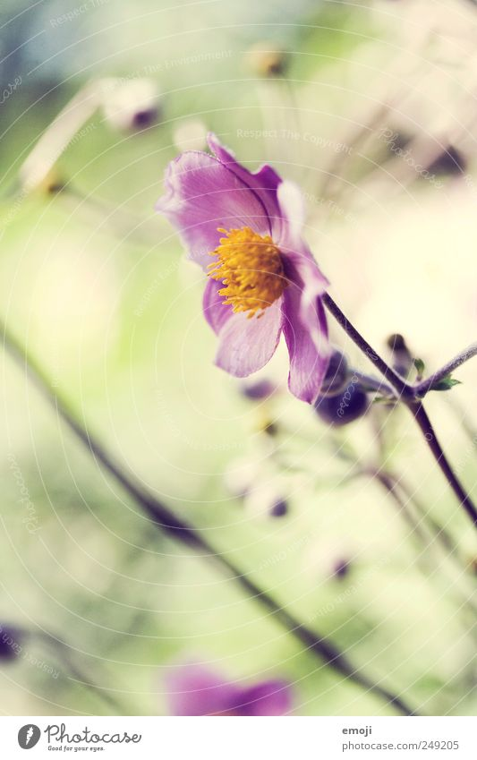 autumn anemone Nature Plant Summer Flower Fragrance Natural Green Pink Chinese Anemone Garden Park Colour photo Exterior shot Close-up Detail