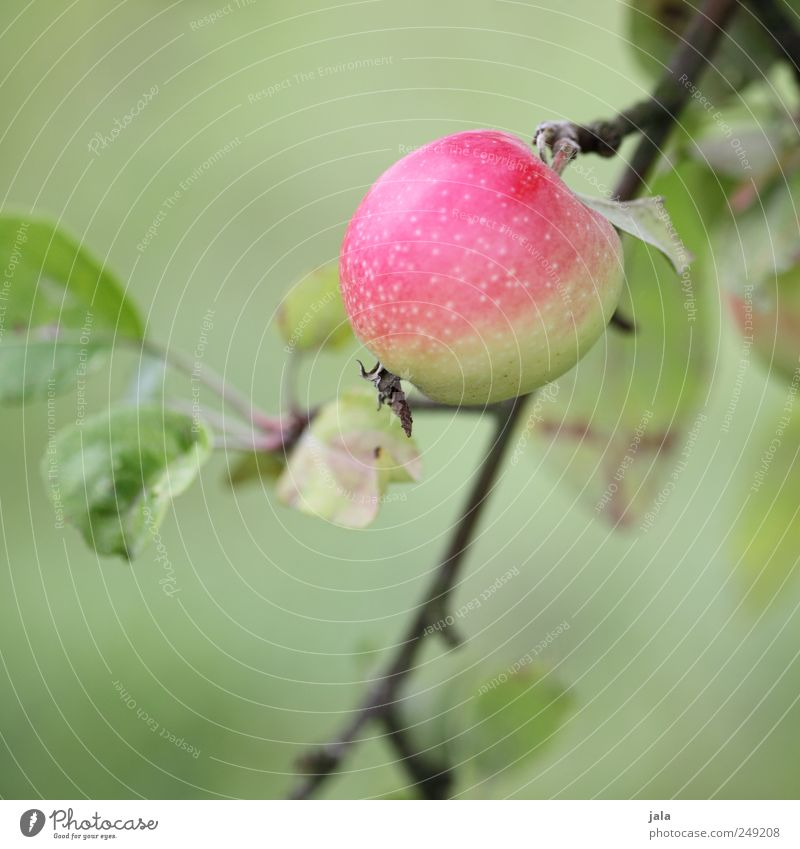 apple Food Apple Organic produce Nature Plant Tree Leaf Foliage plant Agricultural crop Fruit Natural Green Pink Colour photo Exterior shot Deserted