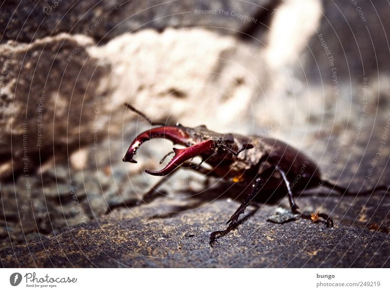 Take hold of the Forceps Animal Wild animal 1 Crawl Sit Threat Nature Environment Stag beetle Insect Pair of pliers Bite biting tools Pinch Legs Building stone