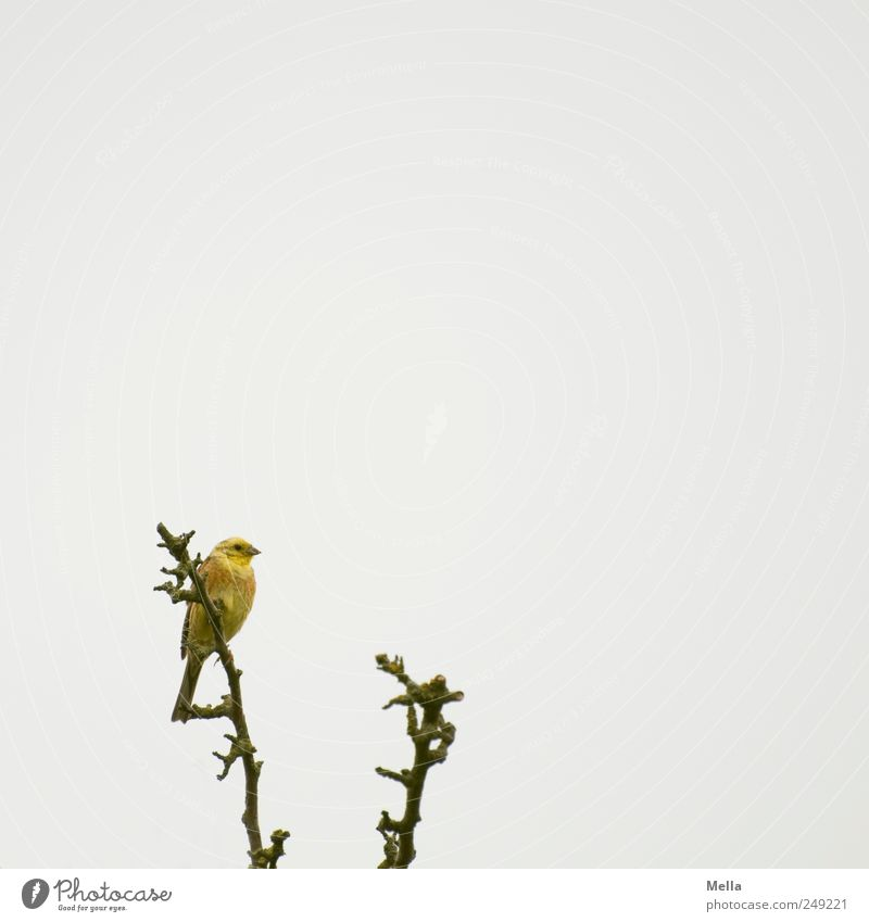 bird Environment Nature Animal Branch Bird Yellowhammer 1 Sit Free Bright Small Natural Gray Freedom Colour photo Exterior shot Deserted Copy Space right