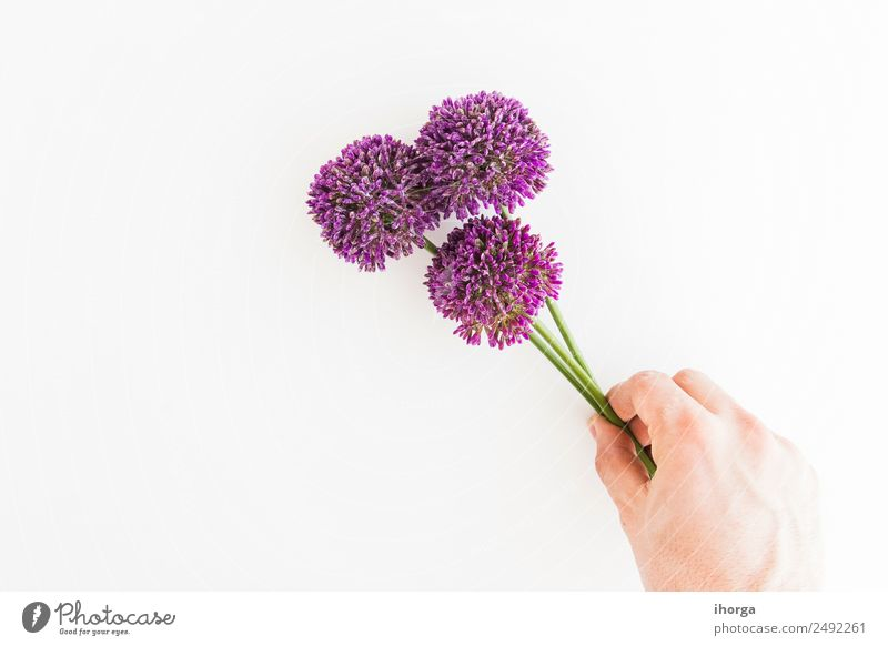 Allium isolated on white background Herbs and spices Elegant Garden Decoration Feasts & Celebrations Valentine's Day Mother's Day Human being Hand Fingers