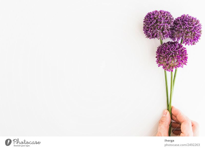 Allium isolated on white background Herbs and spices Elegant Beautiful Garden Decoration Feasts & Celebrations Valentine's Day Mother's Day Human being Hand