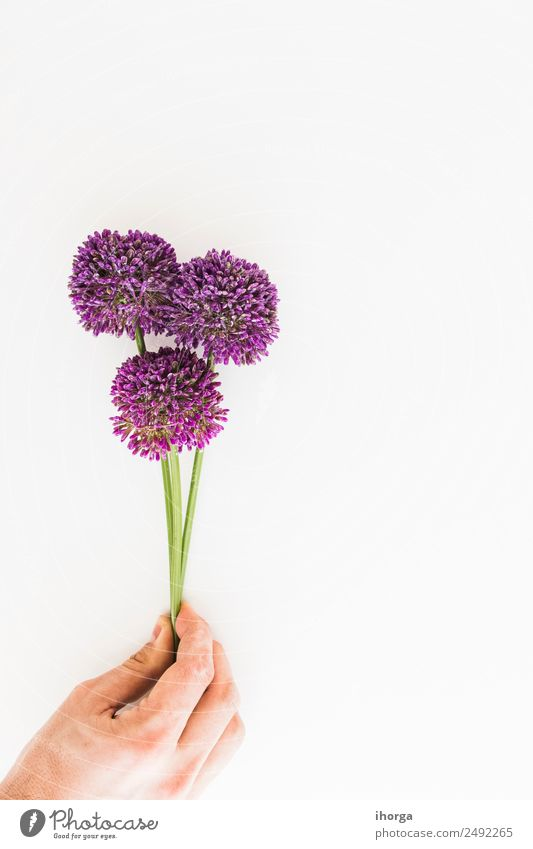 Allium isolated on white background Herbs and spices Beautiful Garden Decoration Feasts & Celebrations Valentine's Day Mother's Day Human being Hand Fingers