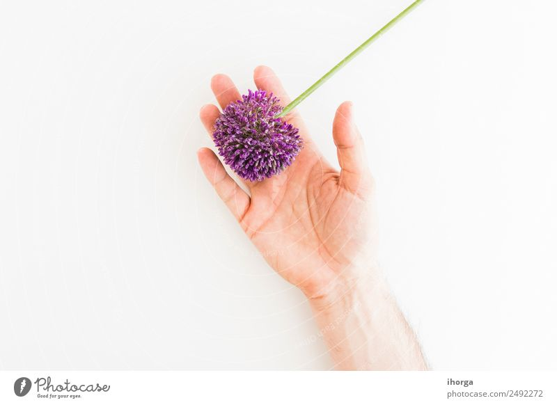 Allium isolated on white background Human being Nature Summer Plant Beautiful White Hand Flower Love Natural Garden Feasts & Celebrations Decoration Elegant