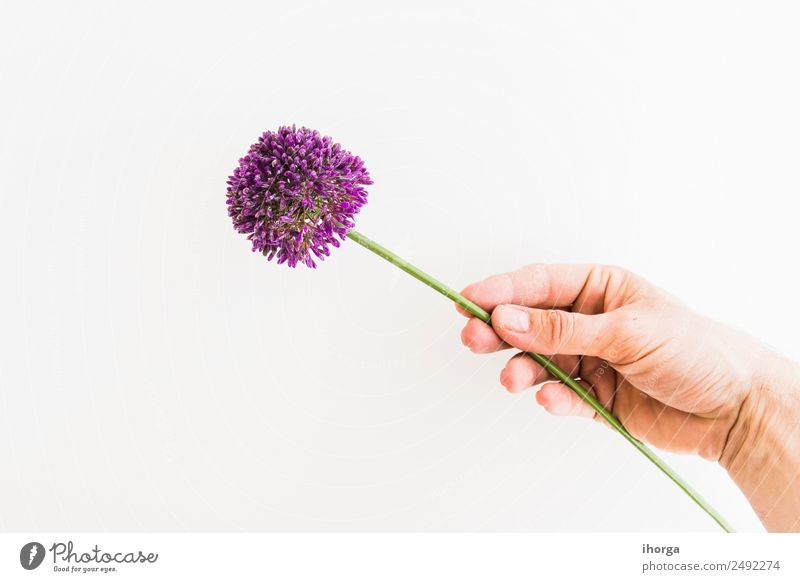 Allium isolated on white background Vegetable Herbs and spices Beautiful Summer Garden Feasts & Celebrations Valentine's Day Mother's Day Human being Hand