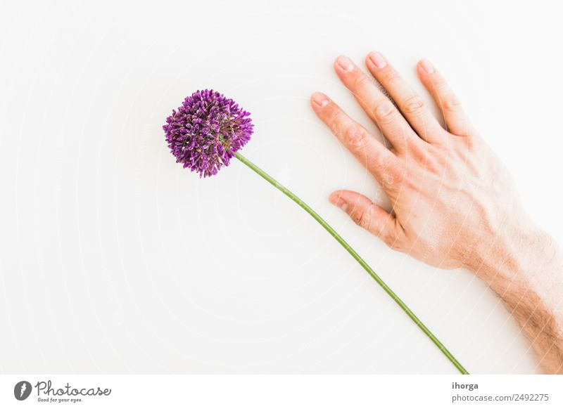 Allium isolated on white background Human being Nature Plant White Hand Flower Love Natural Garden Feasts & Celebrations Decoration Elegant Growth Fingers