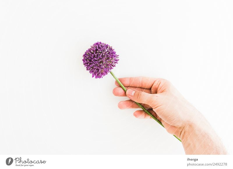 Allium isolated on white background Human being Nature Summer Plant White Hand Flower Love Natural Garden Feasts & Celebrations Elegant Growth Fingers