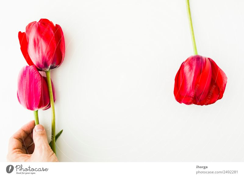 Tulip flowers on white table Beautiful Table Wallpaper Feasts & Celebrations Valentine's Day Mother's Day Human being Man Adults Hand Fingers Nature Plant