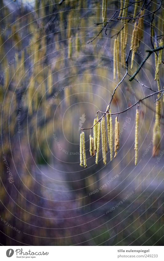 Nature Plant Yellow Colour Blossom Spring Natural Violet Hang Birch tree Twigs and branches