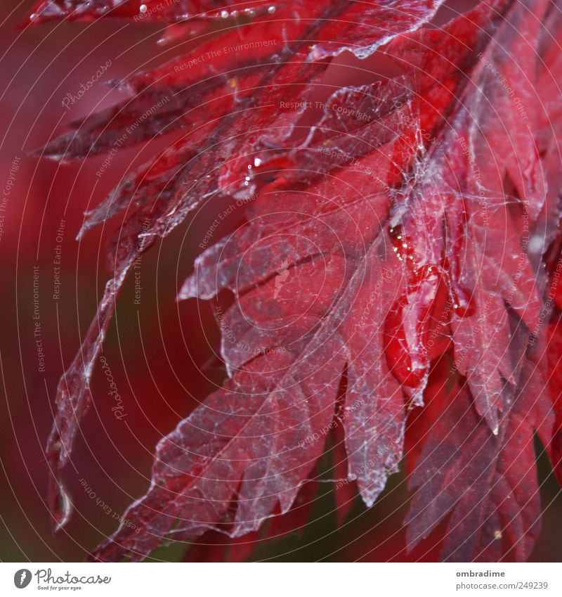 Nature Water Tree Plant Red Leaf Autumn Environment Garden Rain Park Weather Drops of water Natural Spider's web Consistent