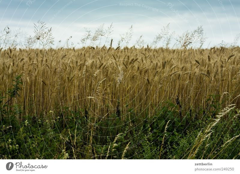 Field Grain Village Farm Agriculture Mature Harvest Farmer Blade of grass Farmhouse Cornfield Wheat Rye Barley Hesse