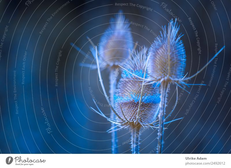 thistles in blue - nature Design Wellness Harmonious Well-being Relaxation Calm Meditation Massage Swimming pool Decoration Wallpaper mourning card