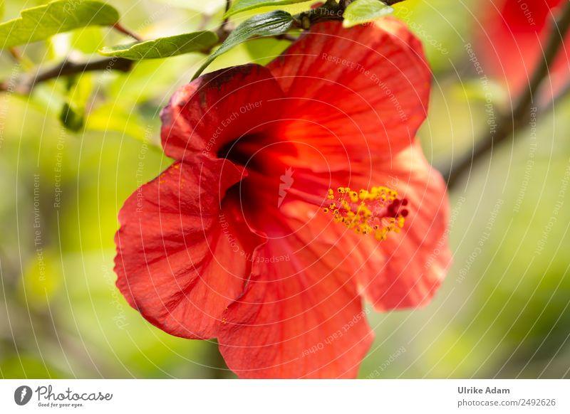 Flower of the red hibiscus Elegant Beautiful Alternative medicine Harmonious Meditation Spa Nature Plant Summer Tree Leaf Blossom Hibiscus Hibicus blossom
