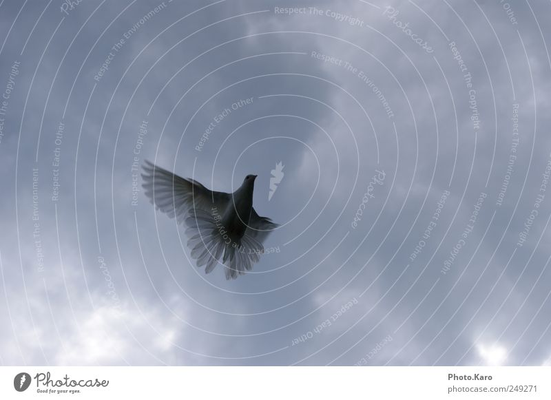 dove Sky Clouds Animal Wild animal Pigeon Wing 1 Flying Elegant Soft White Exterior shot Evening