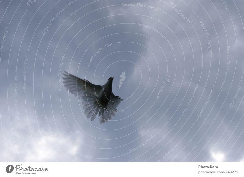 Sky White Clouds Animal Elegant Flying Wild animal Wing Soft Pigeon