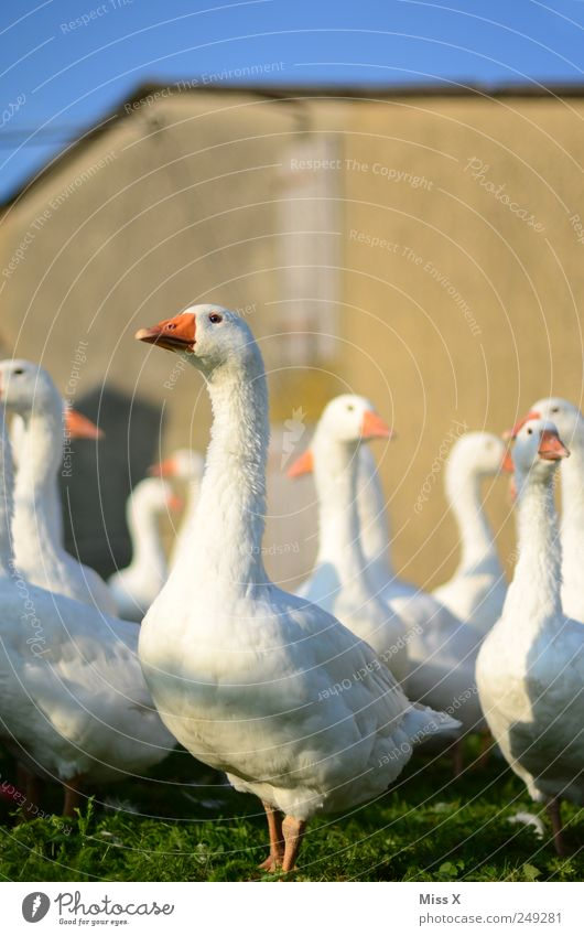 Standing still Meat Organic produce Farm animal Herd Curiosity Goose chatter Beak White Poultry farm poultry breeding Livestock breeding Colour photo