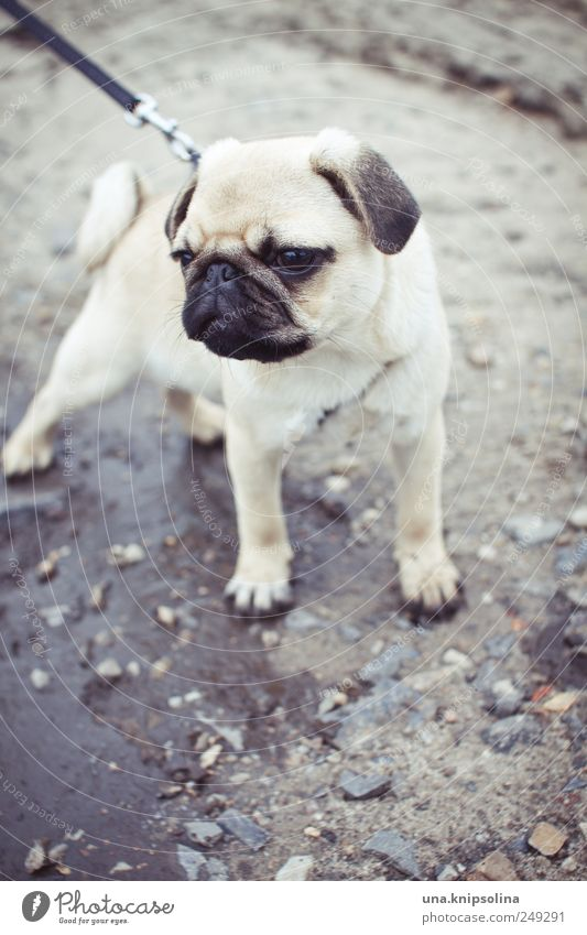 A brazen pug, mostly wants drops. Earth Animal Pet Dog Pug 1 Baby animal Cute Puddle Walk the dog Dog lead Puppy Colour photo Subdued colour Exterior shot