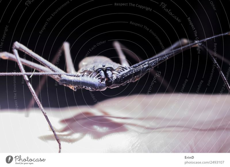 Close Up Giant Whip Scorpion Insect on Hand Hiking Animal Virgin forest Spider Stand Disgust Exotic Large Creepy Uniqueness Near Curiosity Thorny Black Serene
