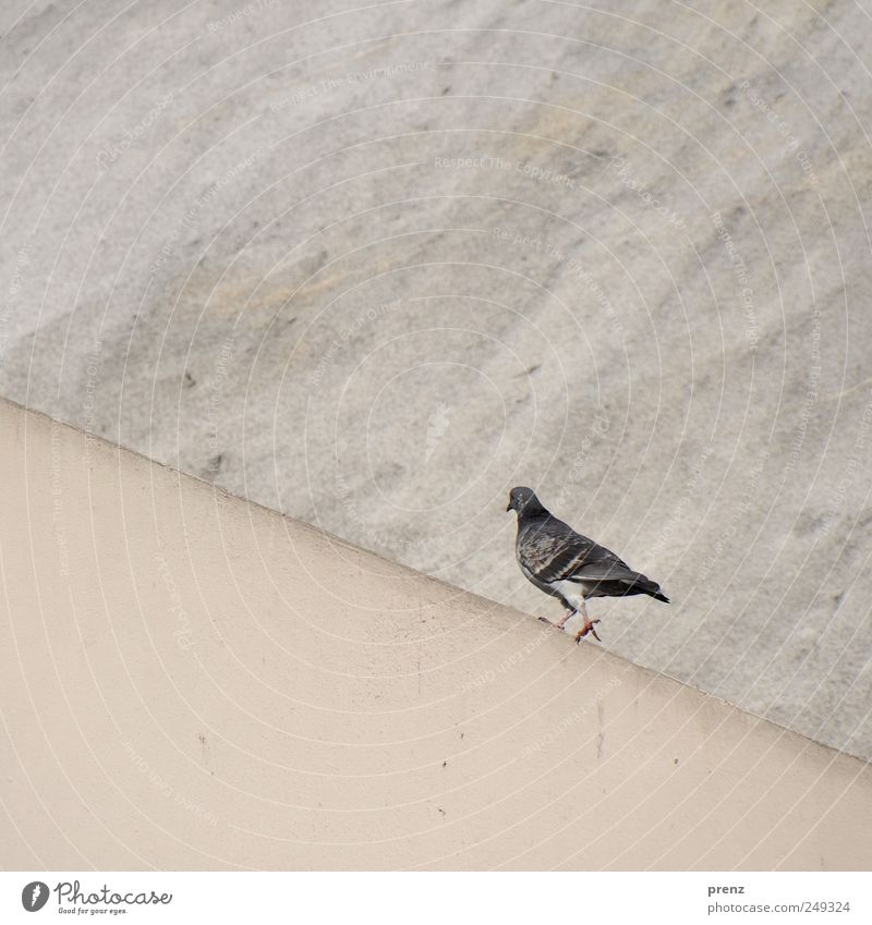It's going up Wall (barrier) Wall (building) Bird Pigeon Going Gray Go up Walking Concrete Colour photo Exterior shot Deserted Neutral Background Day
