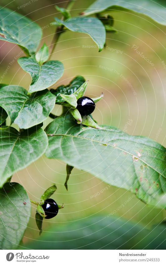 Black Soul Nature Summer Plant Wild plant Growth Esthetic Threat Elegant Poison Poisonous plant Deadly nightshade Solanaceae Medicinal plant Caution